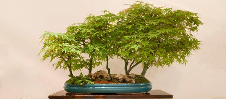 Comprar bonsáis en Murcia