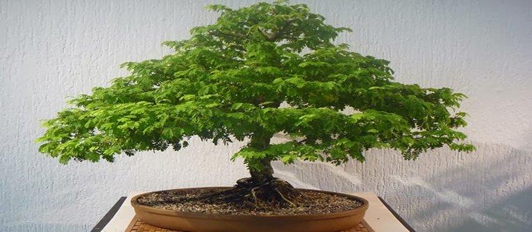 Comprar bonsáis en Zaragoza