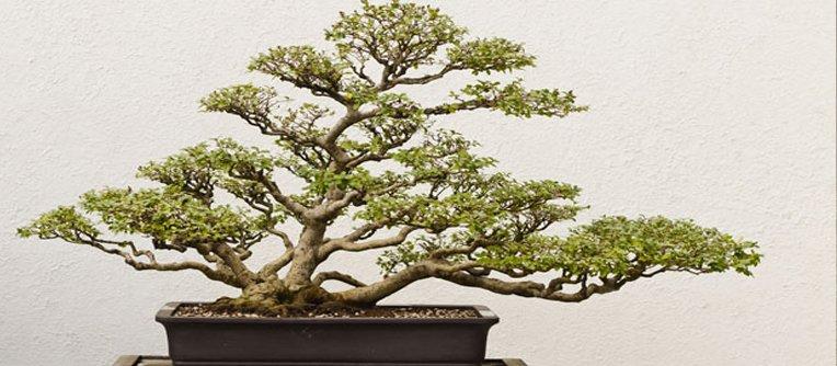 Comprar bonsáis valencia