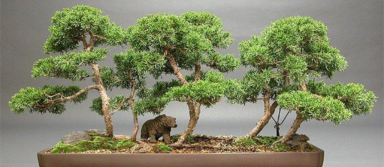 bonsái japones precio