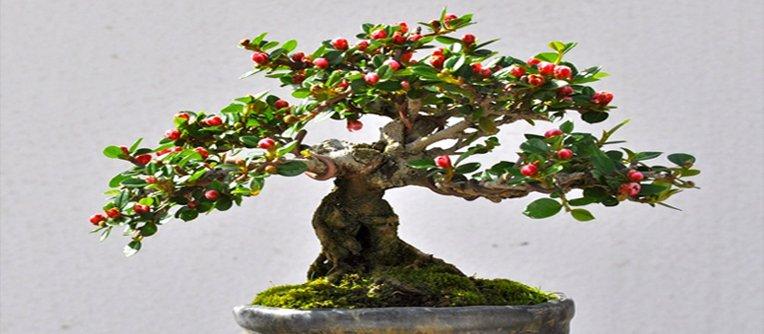 bonsái manzano precio