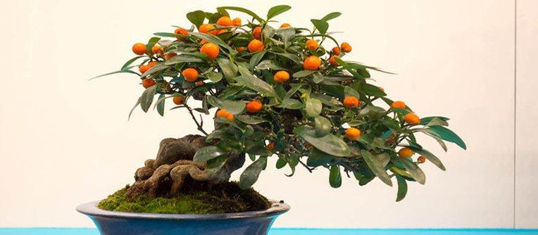 bonsái naranjo precio