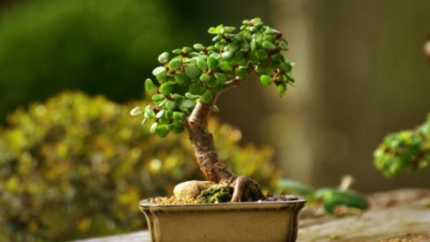 Bonsai carmona for Bonsais de interior