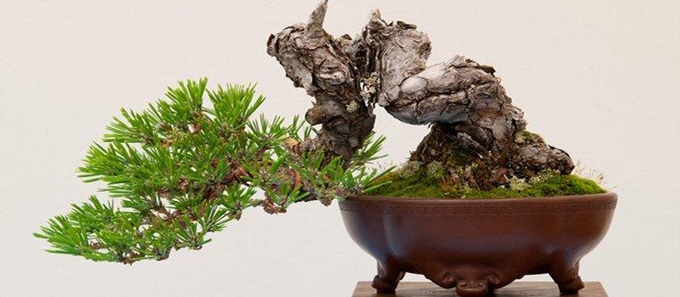 comprar bonsai en toledo