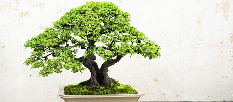 Comprar bons i jerez centro bonsai online especializado for Comprare bonsai online