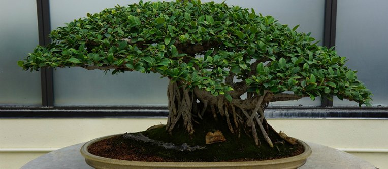 Comprar bons i lugo centro bonsai online especializado for Comprare bonsai online