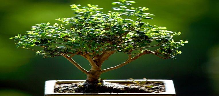 comprar bonsái santander