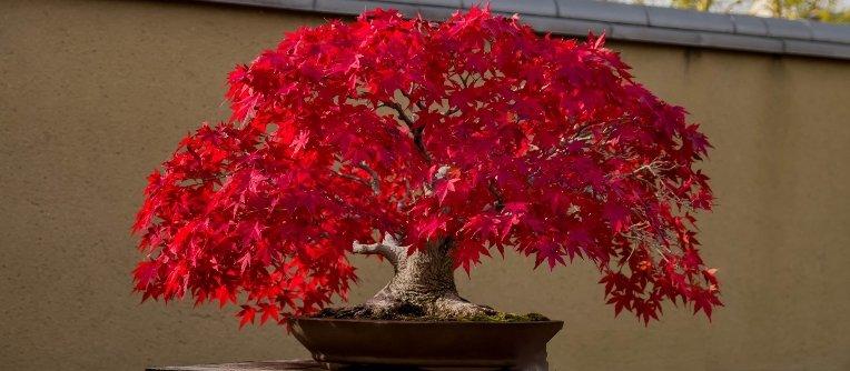 Comprar bonsái arce rojo online