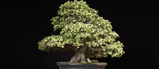 comprar un bonsái alicante
