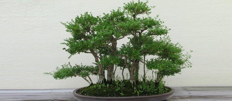 comprar un bonsái en bilbao