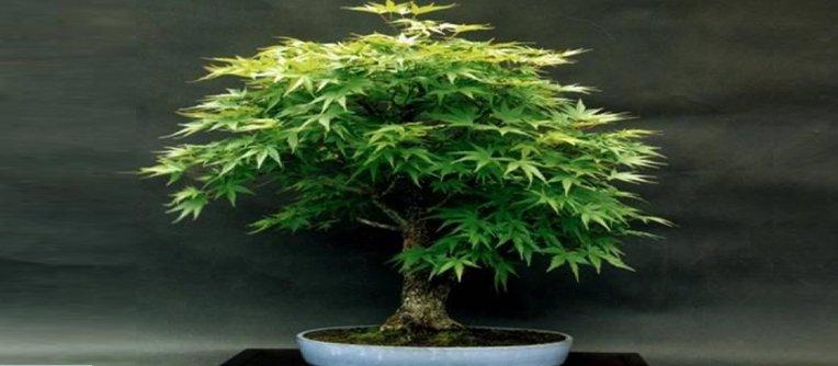 comprar un bonsai en valencia
