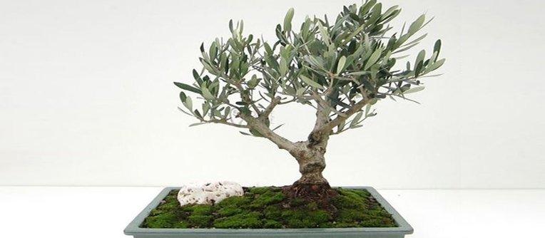 olivo bonsai precio