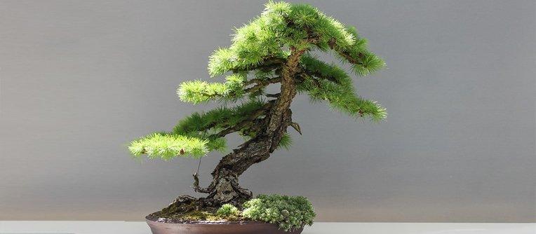 qué precio tiene un bonsái