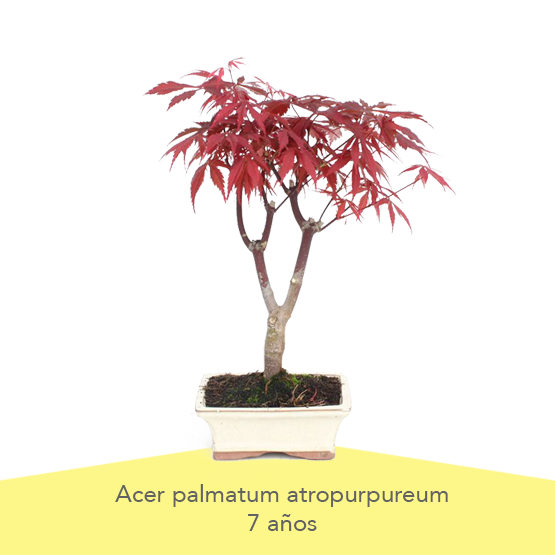 Pack 1 Dia de la Madre Bonsai Acer