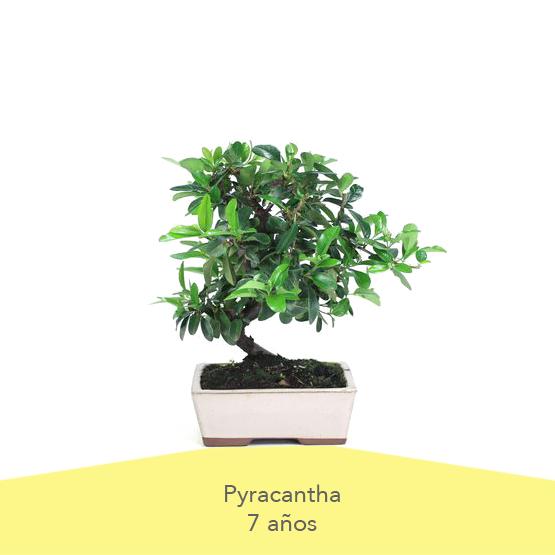 Pack 1 Dia de la Madre Bonsai Pyracantha