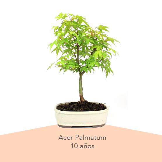 Pack 3 Dia de la Madre Acer Palmatum