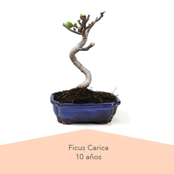 Pack 3 Dia de la Madre Ficus Carica