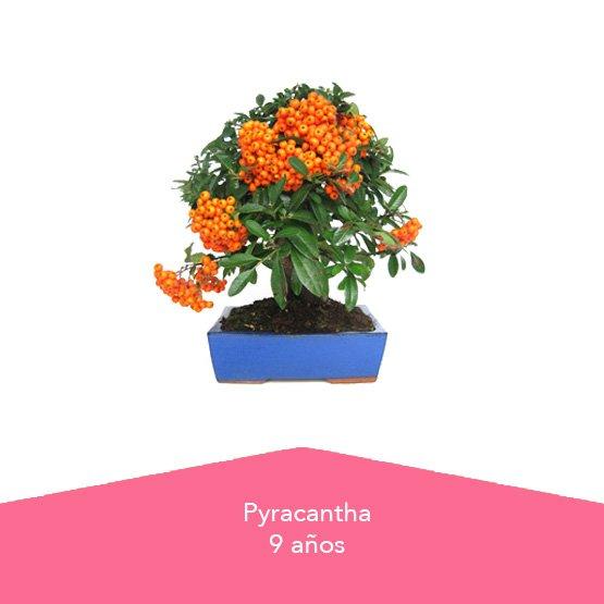 Pack Dia de la Madre 2 Pyracantha