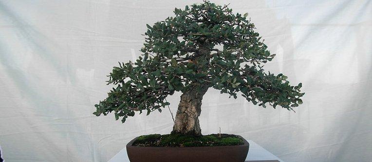 bonsai alcornoque