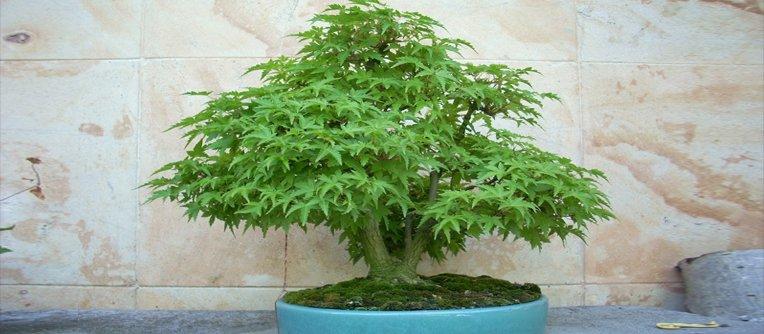 bonsai arce japones