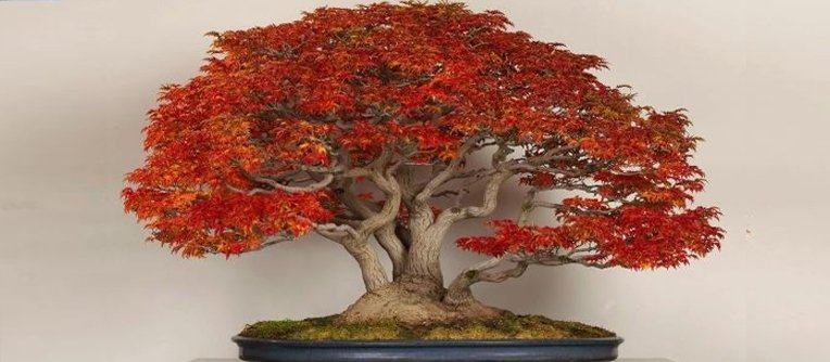 bonsai arce rojo