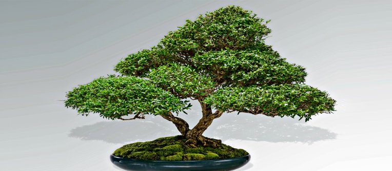 bonsai pasion