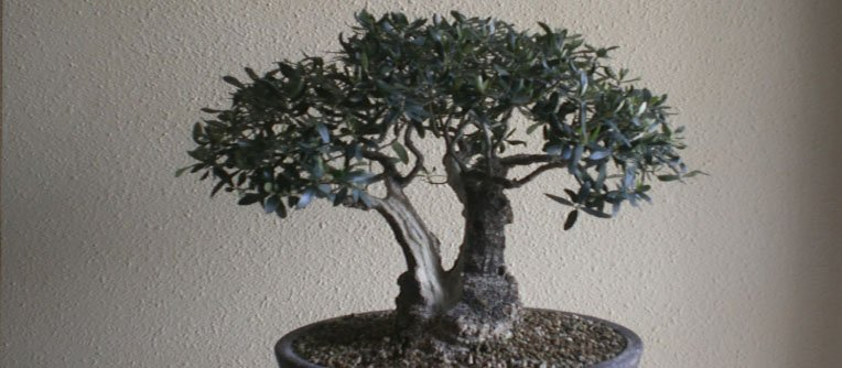 bonsáis de olivo