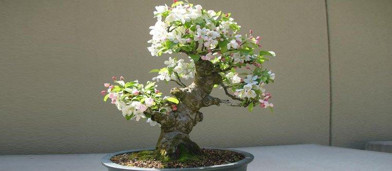 malus bonsái