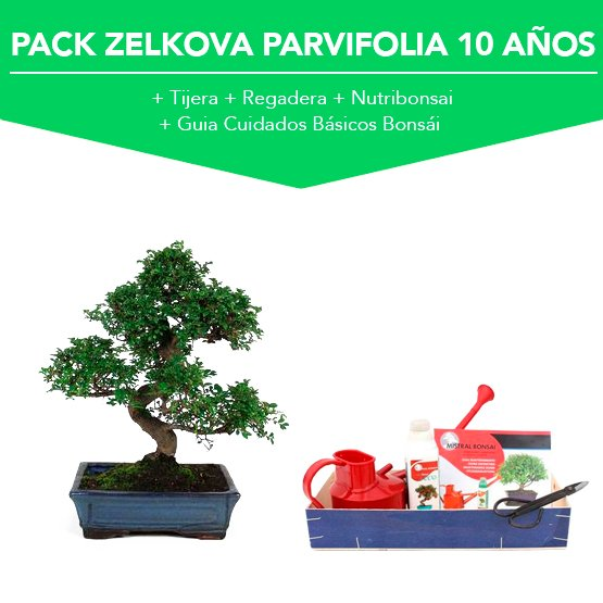 Pack Bonsái Zelkova Parvifolia 10 años