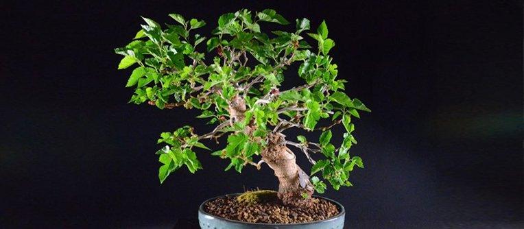 Morera bonsái