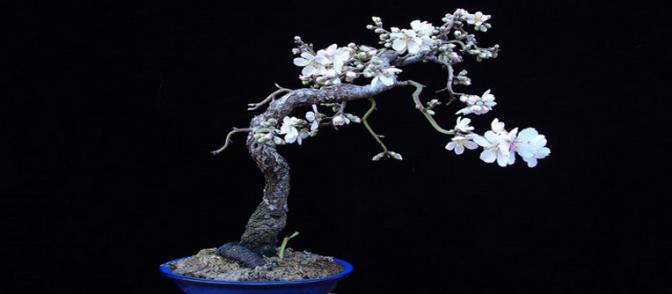bonsái almendro