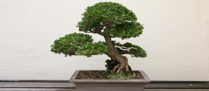 bonsái de ciprés