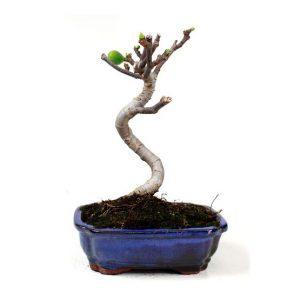 Bonsái 10 años Ficus carica