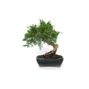 Bonsái 10 años Juniperus chinensis