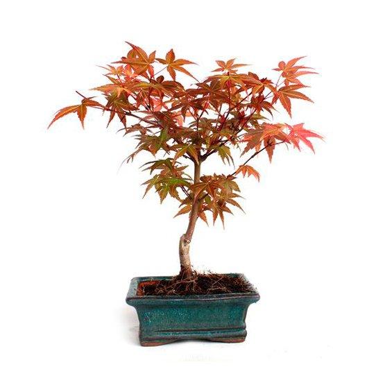 Bonsái 6 años Acer palmatum deshojo