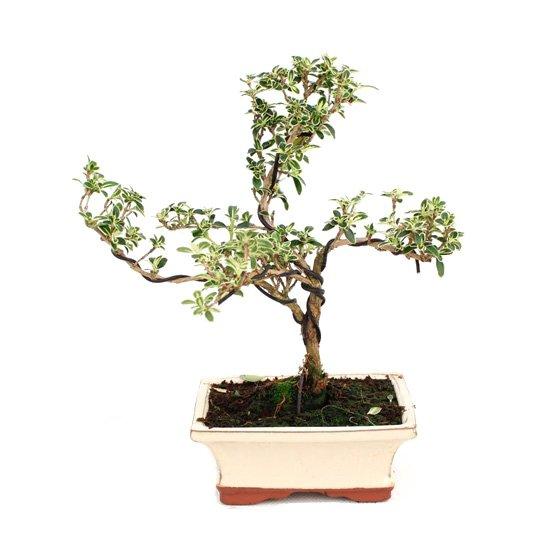 Bonsái 6 años Serissa phoetida variegata