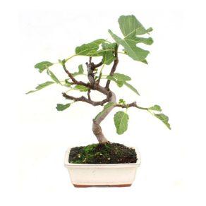 Bonsái 7 años Ficus carica