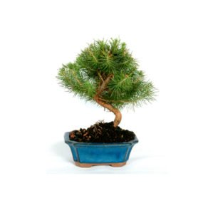 Bonsái 7 años Pinus halepensis