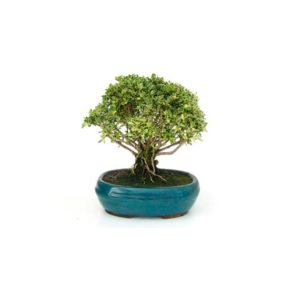 Bonsái 7 años Serissa phoetida variegata