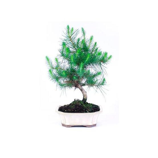 Bonsái 8 años Pinus halepensis