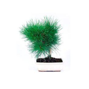 Bonsái 8 años Pinus thunbergii