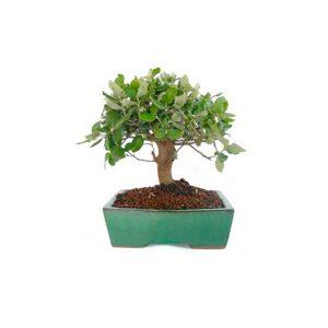 Comprar bonsai roble centro bonsai online especializado for Comprare bonsai online