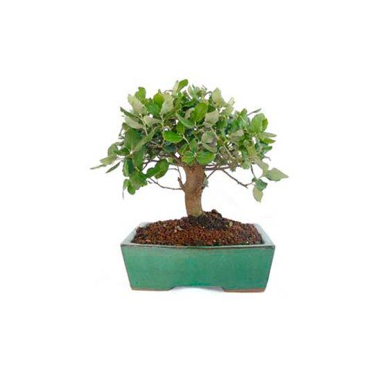 Bonsái 8 años Quercus suber