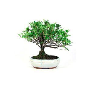Bonsái 8 años Rhododendron indicum