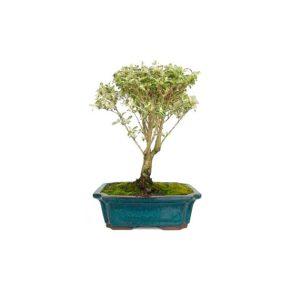 Bonsái 8 años Serissa phoetida variegata