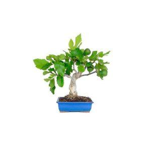 Bonsái 9 años Ficus carica