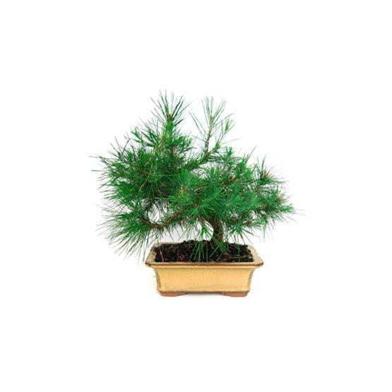 Bonsái 9 años Pinus halepensis