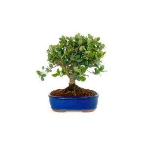 Bonsái 9 años Quercus suber