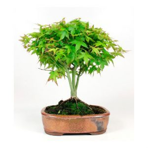 Bonsai 10 años Acer palmatum