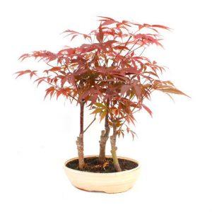 Bonsai 10 años Acer palmatum atropurpureum